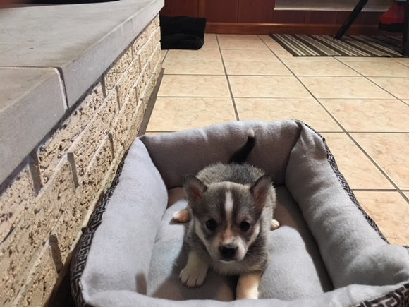 Pomsky Puppy For Sale Rome, OH Female Cheyenne