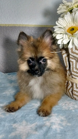 Pomeranian Puppy For Sale Fredericksburg OH Male Cody