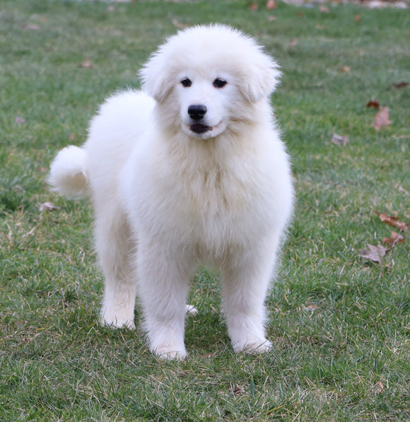 Samoyed Puppy For Sale Fredericksburg, OH Male- Quilo