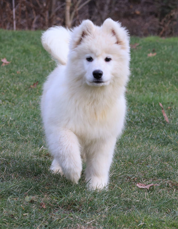 Samoyed Puppy For Sale Fredericksburg, OH Male- Dakota