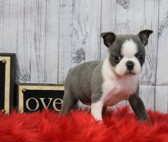 AKC Registered Boston Terrier For Sale Warsaw, OH Female- Lacey