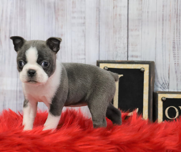 AKC Registered Boston Terrier For Sale Warsaw, OH Female- Lilly