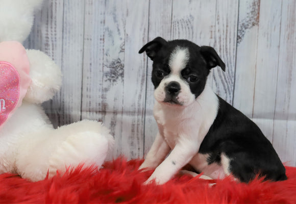 ACA Registered Boston Terrier For Sale Warsaw, OH Female- Callie
