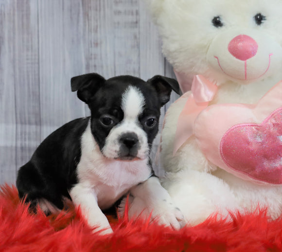 ACA Registered Boston Terrier For Sale Warsaw, OH Male- Oliver