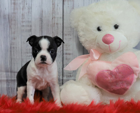 ACA Registered Boston Terrier For Sale Warsaw, OH Female- Daisy
