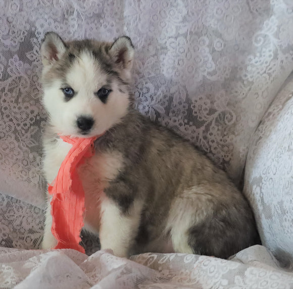 AKC Registered Siberian Husky For Sale Millersburg, OH Female- Sherry