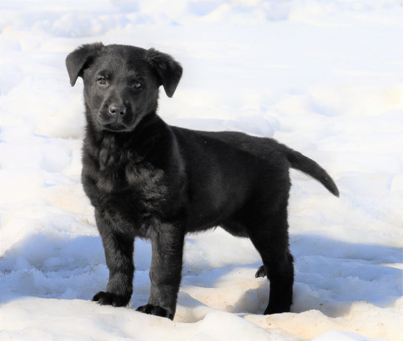 German Shepherd/ Labrador Retriever Mix For Sale Danville, OH Male- Buster