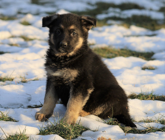 AKC Registered German Shepherd For Sale Fredericksburg, OH Male- Roscoe