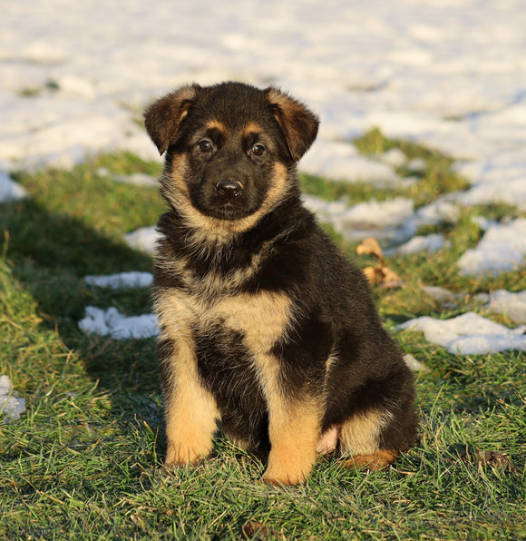 AKC Registered German Shepherd For Sale Fredericksburg, OH Female- Lexi