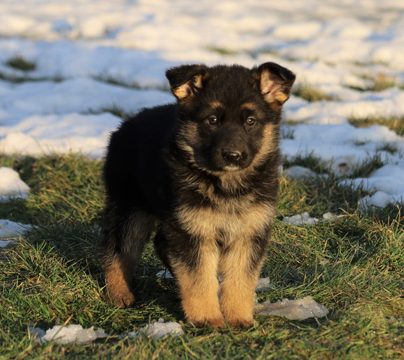 AKC Registered German Shepherd For Sale Fredericksburg, OH Female- Stella