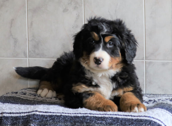 AKC Registered Bernese Mountain Dog For Sale Millersburg, OH Female- Layna