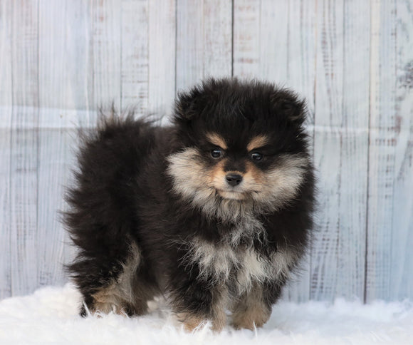 Pomeranian For Sale Fredericksburg, OH Male- Gizmo