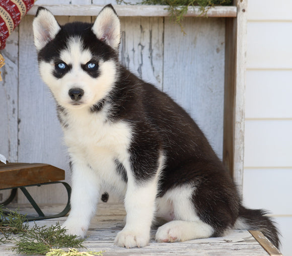 AKC Registered Siberian Husky For Sale Millersburg, OH Female- Nelly