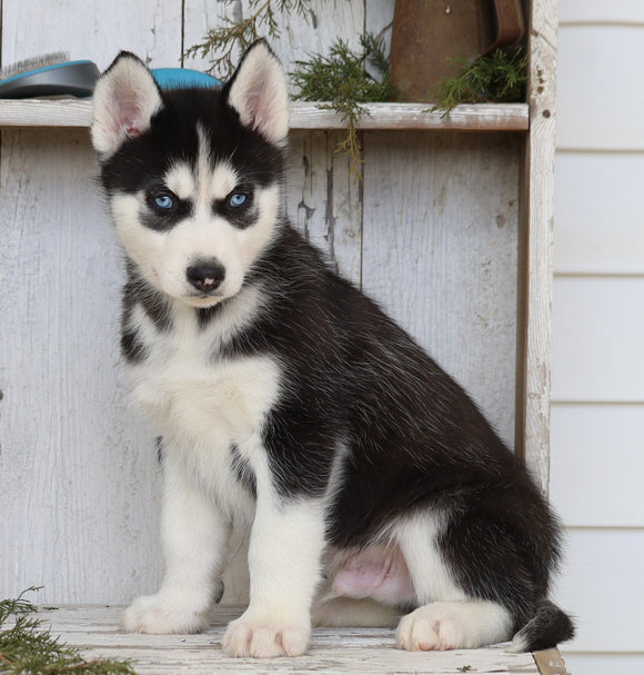 AKC Registered Siberian Husky For Sale Millersburg, OH Male- Master