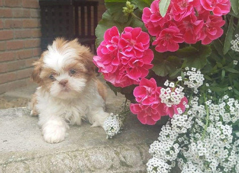 Shih Tzu Puppy For Sale Warsaw, OH Female- Zoey