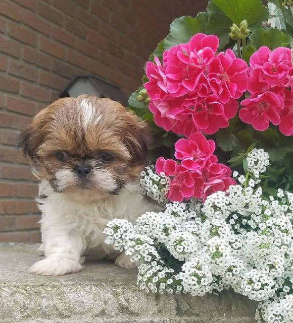 Shih Tzu Puppy For Sale Warsaw, OH Male- Zimba