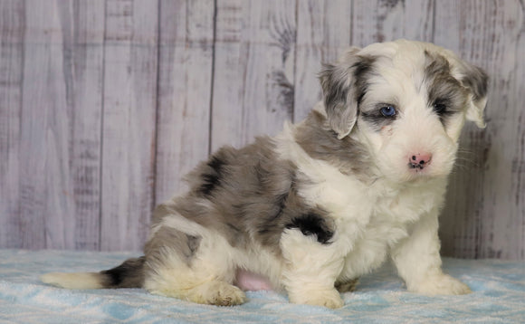 Mini Sheepadoodle For Sale Fredericksburg, OH Male- Cooper