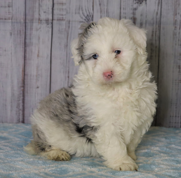 Mini Sheepadoodle For Sale Fredericksburg, OH Female- Chloe