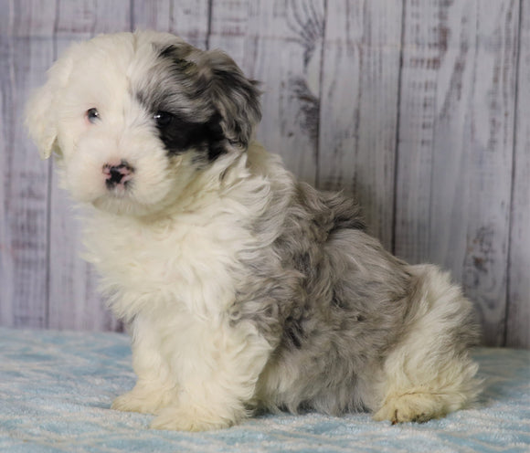 Mini Sheepadoodle For Sale Fredericksburg, OH Female- Abby