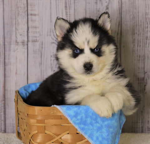 Pomsky For Sale Fredericksburg, OH Female- Ren