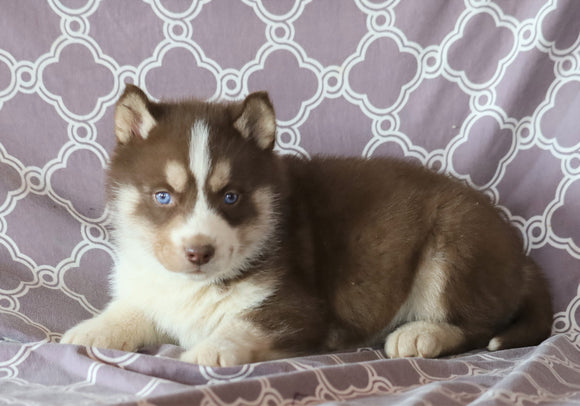 Siberian Husky For Sale Fredericksburg, OH Male- Sailor