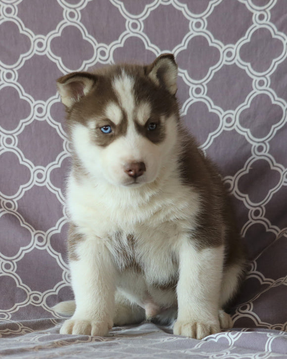 Siberian Husky For Sale Fredericksburg, OH Male- Scotty