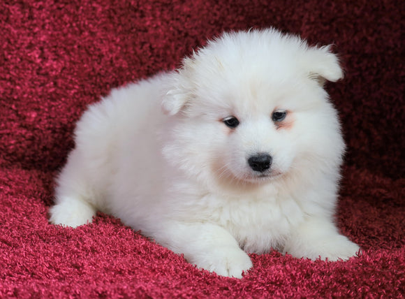AKC Registered Samoyed For Sale Danville, OH Female- Angel