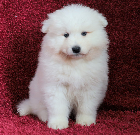 AKC Registered Samoyed For Sale Danville, OH Male- Teddy