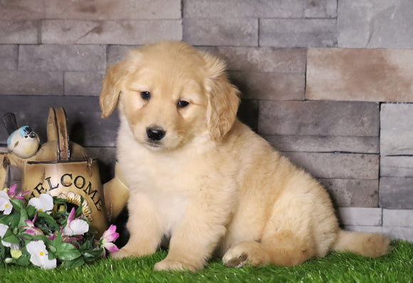 AKC Registered Golden Retriever For Sale Fredericksburg, OH Male- Andy