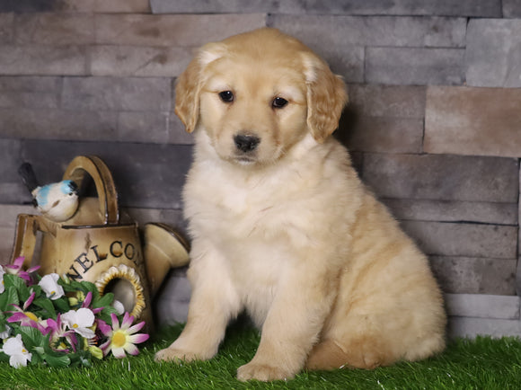 AKC Registered Golden Retriever For Sale Fredericksburg, OH Female- Audery