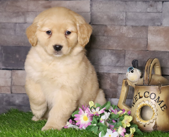 AKC Registered Golden Retriever For Sale Fredericksburg, OH Female- Annie