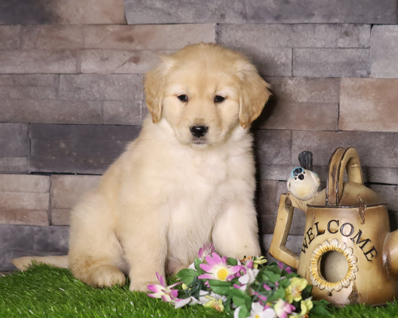 AKC Registered Golden Retriever For Sale Fredericksburg, OH Female- Amy
