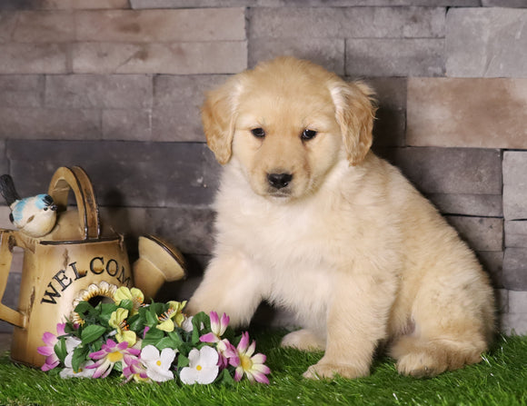 AKC Registered Golden Retriever For Sale Fredericksburg, OH Male- Asher