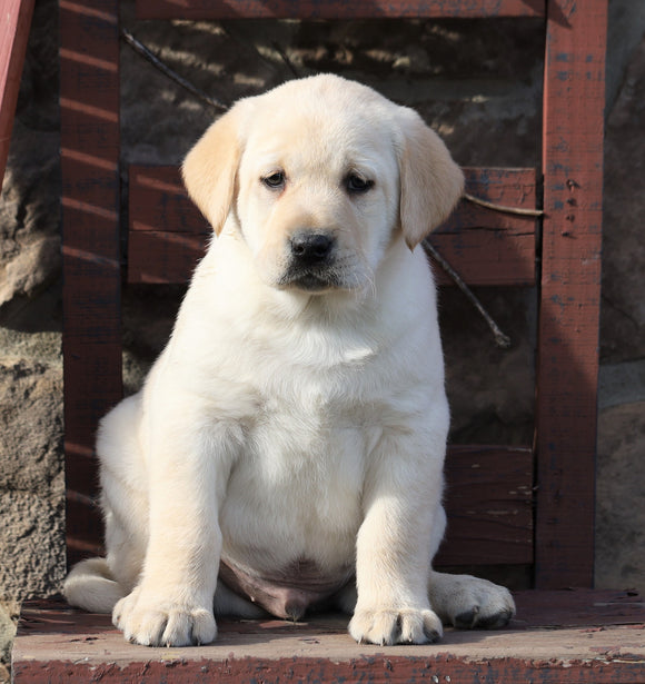 ACA Registered Labrador Retriever For Sale Wooster, OH Male- Winston