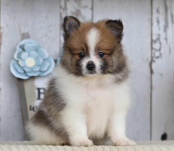 ACA Registered Pomeranian For Sale Millersburg, OH Male- Samson