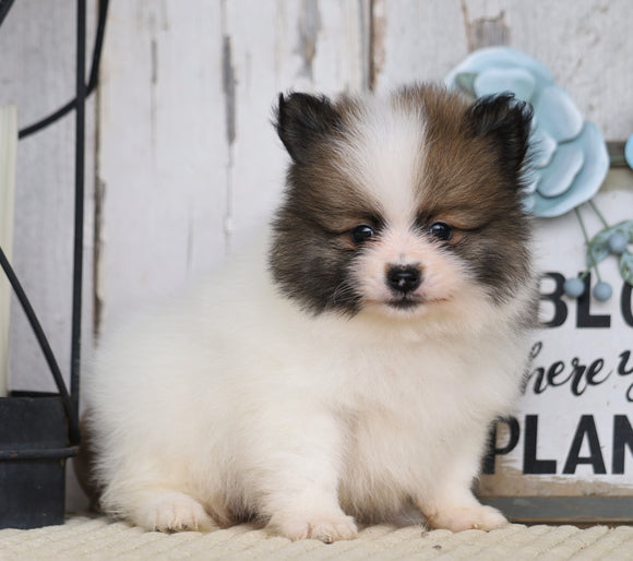 ACA Registered Pomeranian For Sale Millersburg, OH Male- Chief