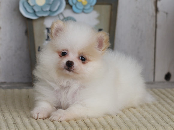 ACA Registered Pomeranian For Sale Millersburg, OH Female- Bella