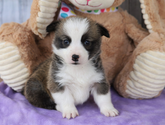 ACA Registered Pembroke Welsh Corgi For Sale Applecreek, OH Female- Penny