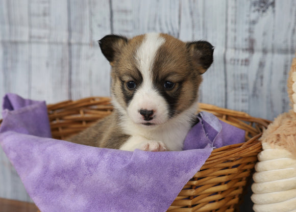 ACA Registered Pembroke Welsh Corgi For Sale Applecreek, OH Female- Candy