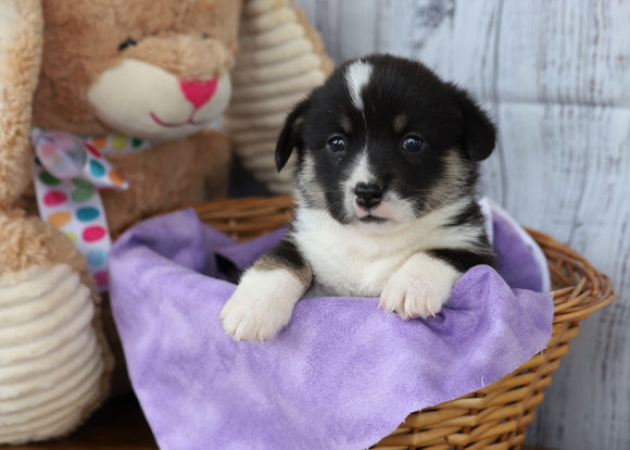 ACA Registered Pembroke Welsh Corgi For Sale Applecreek, OH Female- Marcella
