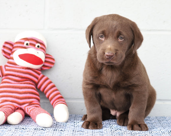 AKC Registered Chocolate Labrador Retriever For Sale Baltic, OH Female- Chloe