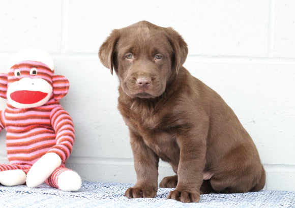 AKC Registered Chocolate Labrador Retriever For Sale Baltic, OH Male- Chester
