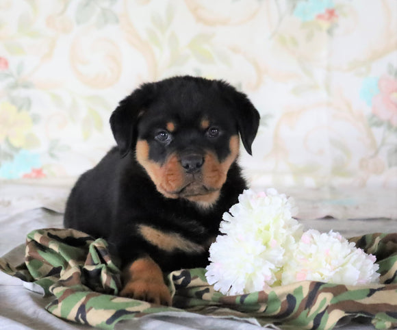 AKC Registered Rottweiler For Sale Sugarcreek, OH Male- Rambo