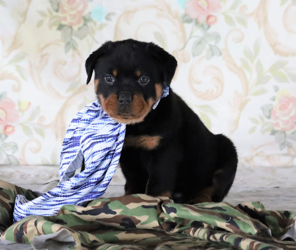 AKC Registered Rottweiler For Sale Sugarcreek, OH Male- Tucker