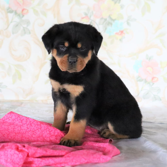 AKC Registered Rottweiler For Sale Sugarcreek, OH Female- Remi