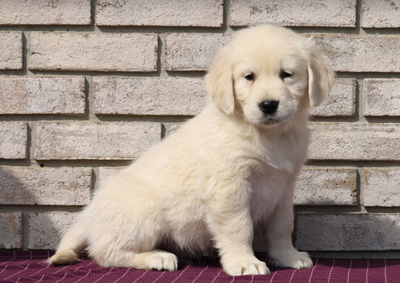 AKC Registered English Cream Golden Retriever For Sale Fredericksburg, OH Male- Kolson