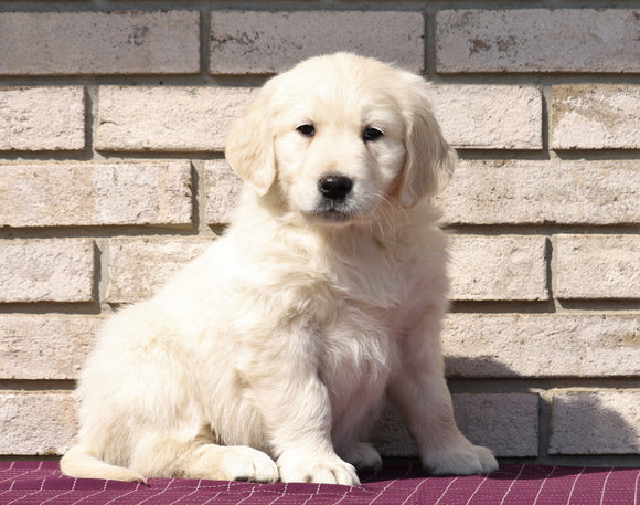 AKC Registered English Cream Golden Retriever For Sale Fredericksburg, OH Male- Koby
