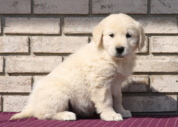 AKC Registered English Cream Golden Retriever For Sale Fredericksburg, OH Male- Konnor