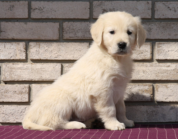 AKC Registered English Cream Golden Retriever For Sale Fredericksburg, OH Male- Karson
