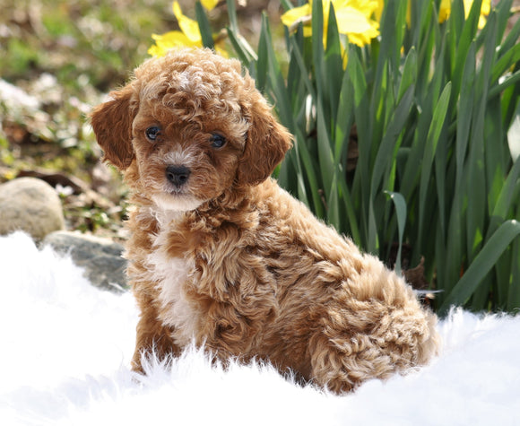 ACA Registered Miniature Poodle For Sale Millersburg, OH Female- Tulip